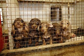 ca-puppymill1-092611.jpg