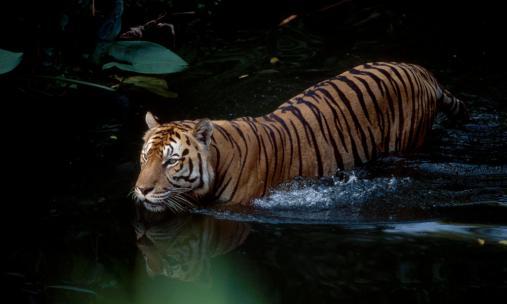 Tigers_Main_8.9.2012_Healthy_Tiger_Populations_HI_257805.jpg