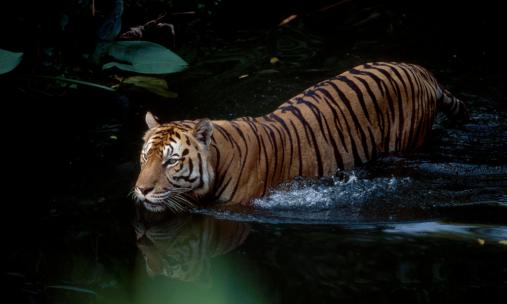 Tigers_Main_8.9.2012_Healthy_Tiger_Populations_HI_257805.jpg