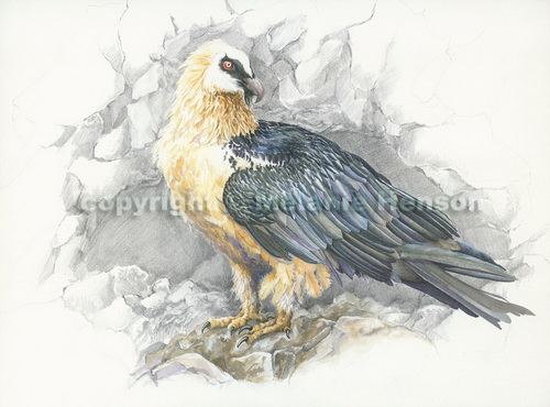 bearded vulture lammergeier